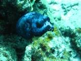 """Arothron nigropunctatus """"Tetraodontide"""" with purple variation"""