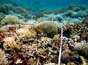 Salah satu ekosistem Terumbu Karang di Raja Ampat