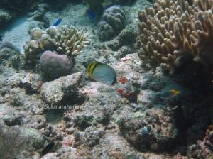 Chaetodon vagabundus Spesies ikan karang yang termasuk jenis ikan indikator kesehatan terumbu karang