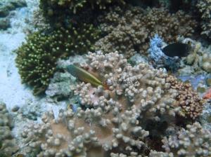 Spesies Paracirrhites forsteri ikan hawkfish yang bersembunyi di celah terumbu karang