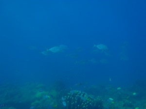 Scholling jenis ikan Carangidae