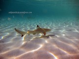 Black thip baby Reef Shark
